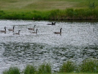 Geese chasing black bear on the lake with sand trap in the background!