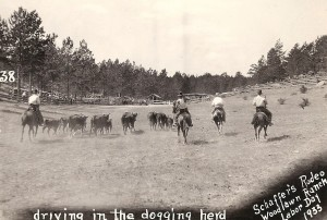 Schaffer's Rodeo driving in the dogging herd in 1933