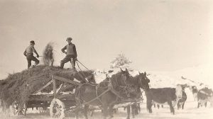 Herb Swan Feeding Hay to His Cattle